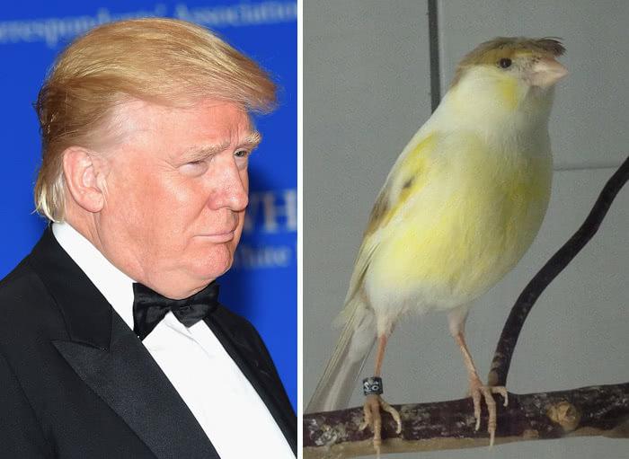 πουλάκι που μοιάζει στον τραμπ