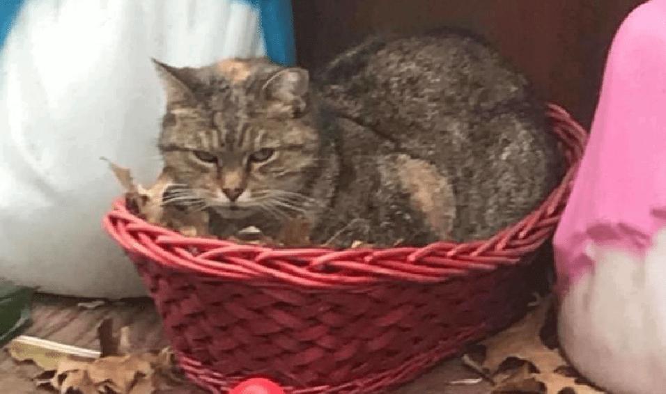 γκρίζο γατάκι