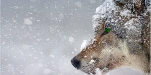 σκυλί σε χιόνια