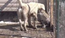 Σκυλίτσα υιοθέτησε νεογέννητη λεοπάρδαλη για να μην τη φάει η μαμά της – News.gr