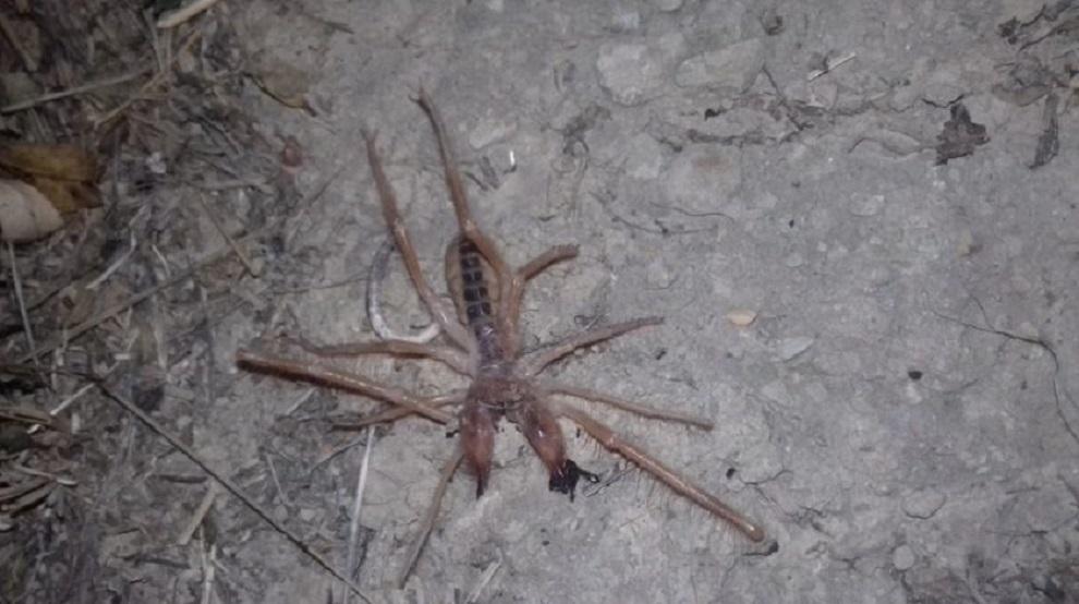 αράχνη - σκορπιός