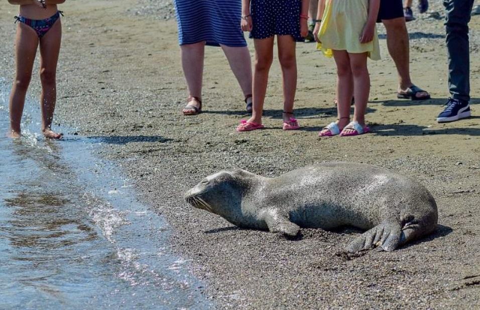 παραλία, φώκια