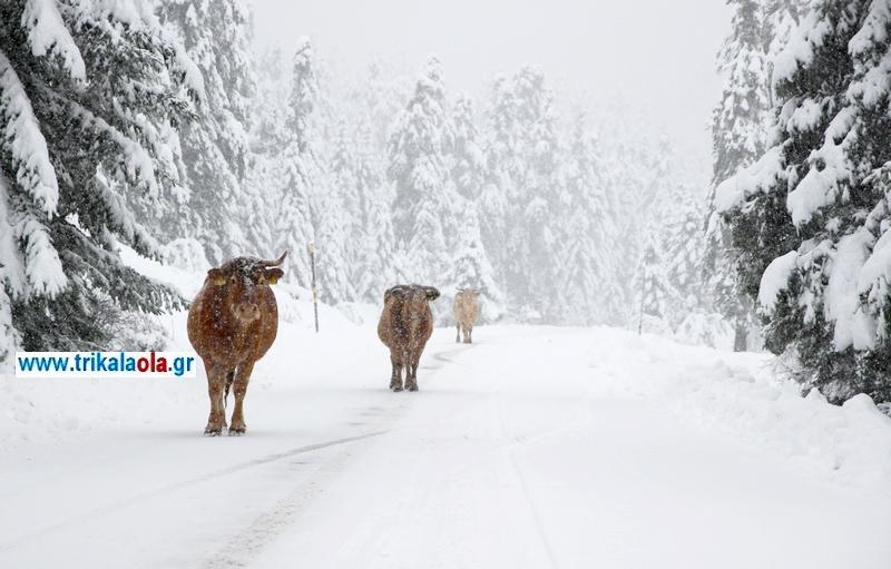 αγελάδες, χιονισμένος δρόμος