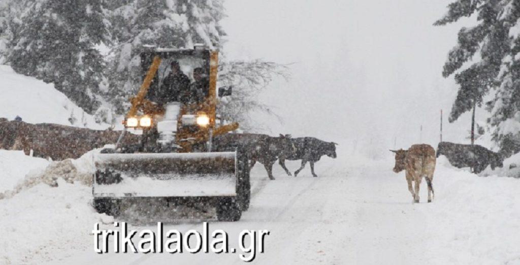 αγελάδες στα χιόνια