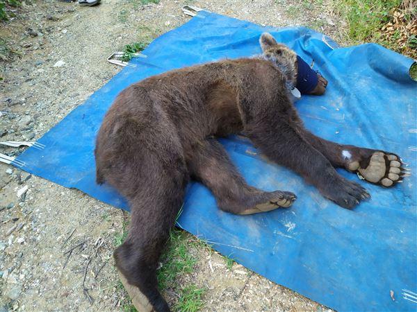 η αρκούδα είχε πιαστεί σε παράνομη παγίδα