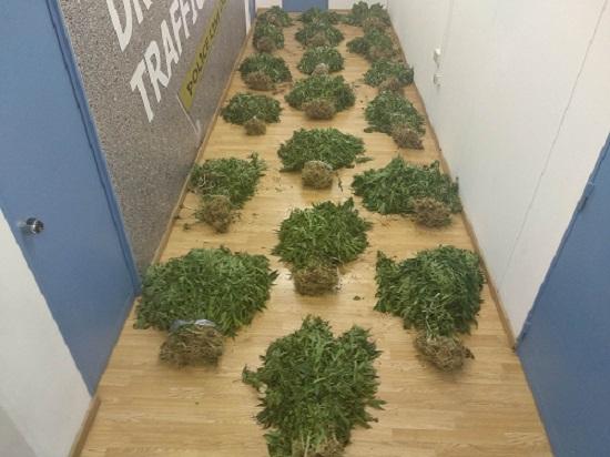 στη φυτεία υπήρχαν 930 δενδρύλλια κάνναβης